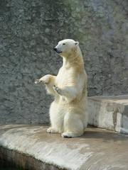 polar bear-beggar