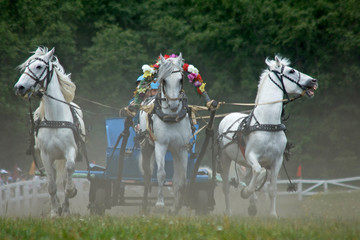 three horses  in harness. horse race.