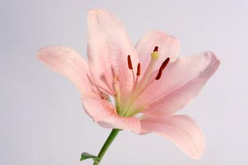 Garden Poster Lotus flower lys