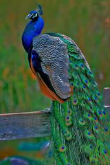 it's peacock