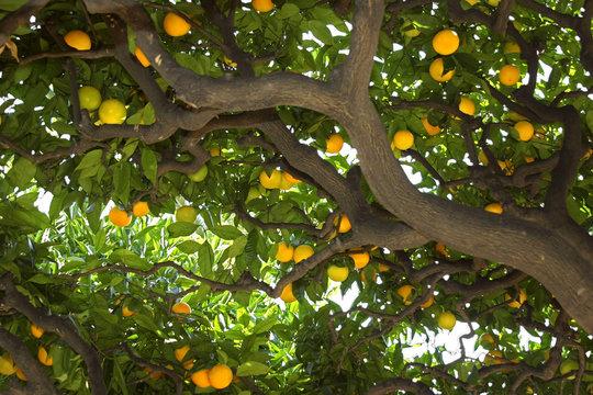 under the lemon tree