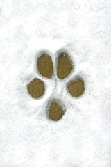 dog print in the snow