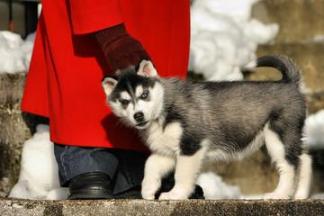 zwei Monate alter Husky