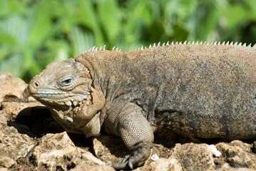 cuban iguana -4