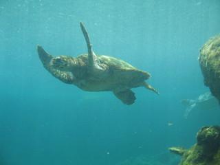 tortue nageant sous  l'eau