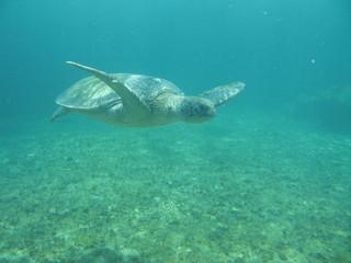 tortue marine sous l'eau