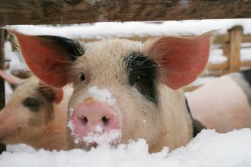 pig, piglet in winter
