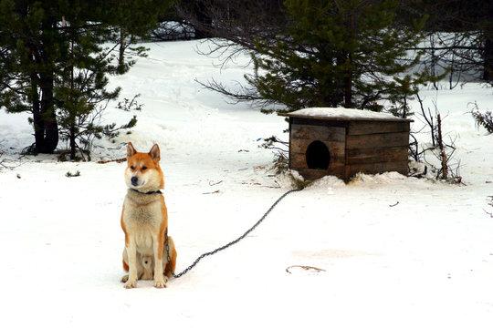 chiens de traineau et niche