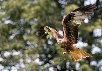 kite - bird flying