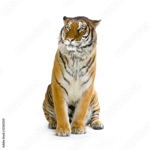 Tigre assis photo libre de droits sur la banque d 39 images - Images tigres gratuites ...