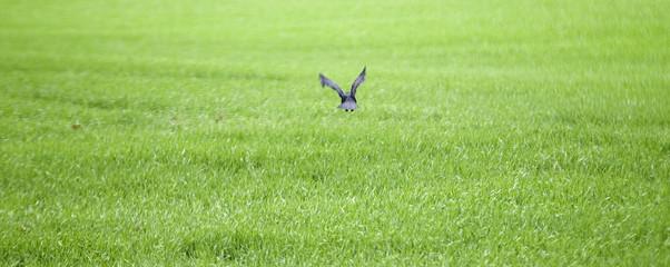 le corbeau décolle