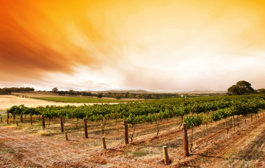 Wall Mural - summer vineyard sunrise