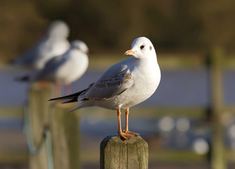 gull on fence post
