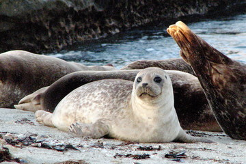 adorable harbor seal
