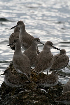 willet and short-billed dowitchers