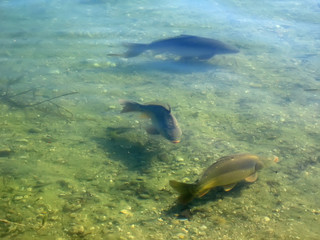 carps in the water