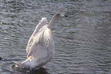 swan ballet 2