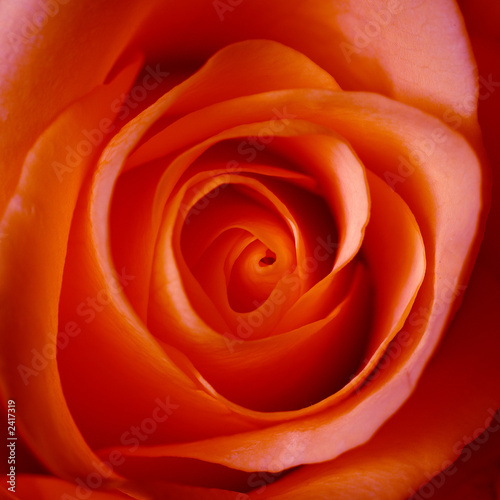 "Image D Une Rose Rouge coeur d'une rose rouge"" stock photo and royalty-free images on"