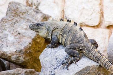 iguane mexique yucatan 3