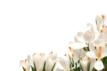 Photo sur Plexiglas Crocus white crocus on white