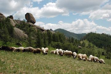 mongolian flock