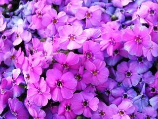 image full of violet flowers