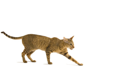 Tuinposter Lynx oriental cat crawling isolated on white