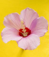 pink flower mallow