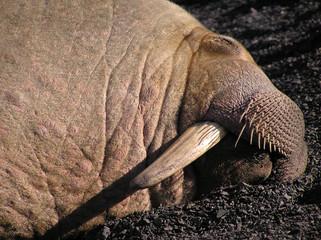 walruss