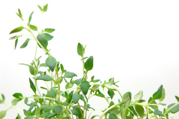 close up of thyme