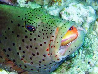 hawkfish eating anthia