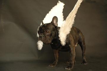chien ange qui perd ses plumes