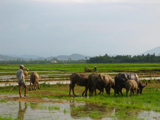 farmer, rice fields, vietnam