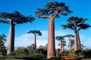 Fotobehang Baobab allée des baobabs à morondava, madagascar