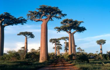Foto auf AluDibond Baobab allée des baobabs à morondava, madagascar
