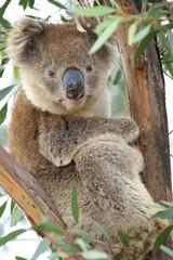 the cute koala