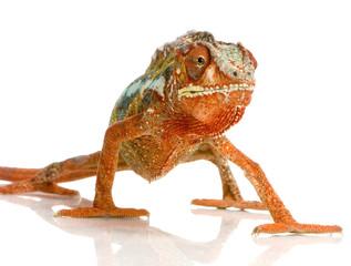 caméléon furcifer pardalis