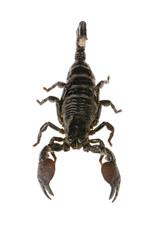 scorpion empereur - pandinus imperator