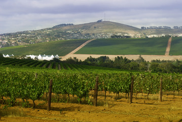 vineyard in durbanville