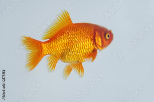poisson rouge photo libre de droits sur la banque d 39 images image 2579582. Black Bedroom Furniture Sets. Home Design Ideas