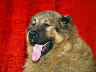 caucasian dog head07