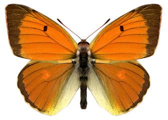 yellow butterfly colias heufalter papillon