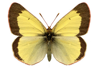 yellow heufalter papillon butterfly colias