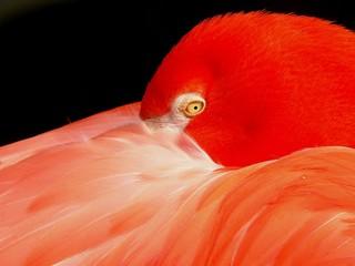flamingo in oranje