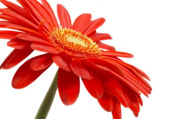 Foto auf Acrylglas Gerbera red flower on a white background