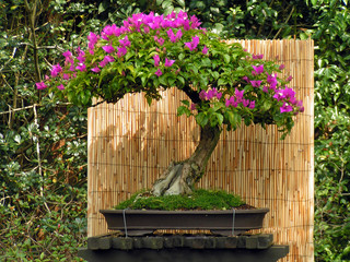 bonsai bouganvillea