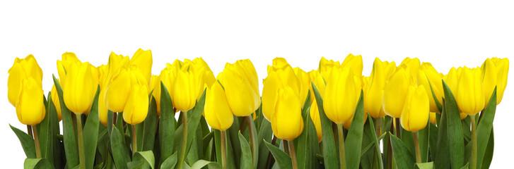 line of yellow tulips