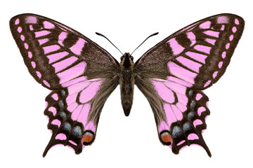 red pink butterfly. machaon. moths.