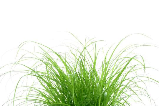 touffe d'herbe