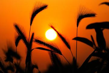 ripening rye ears grass silhouette against sunset